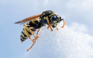 Как и где зимуют осы