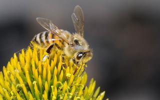 Особенности поведения и содержания пчел Бакфаст
