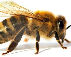 Итальянская пчела как самая продуктивная порода
