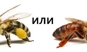 Характеристика и виды пчел, сравнение и помощь в выборе