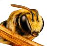 Северная порода пчел и их особенности