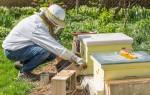 Сколько стоит и как лучше покупать пчелиную семью
