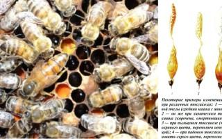 Лечение и профилактика падевого токсикоза у пчел