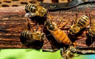 Продолжительность и особенности жизни пчелы