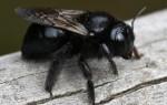 Внешний вид и особенности, которыми обладает черная пчела
