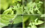 Виды и борьба с пчелой листорезом
