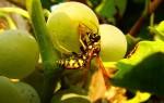 Эффективная защита винограда от ос и пчел