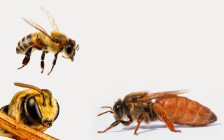 Особенности и виды медоносных пчел